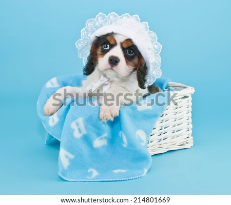 Cute King Cavalier puppy wearing a baby bonnet with a blue blanket on a blue background.