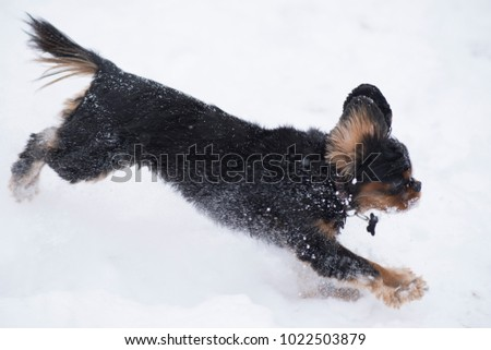 Cute king charles spaniel breed dog jumping in the snow after a blizzard during winter in her backyard.