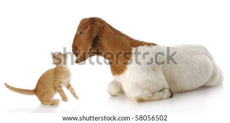 cute kitten and goat doeling interacting with each other with reflection on white background - stock photo