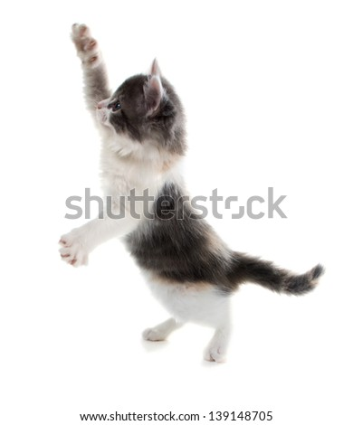 Cute kitten catches a toy standing on his hind legs and waving front - stock photo