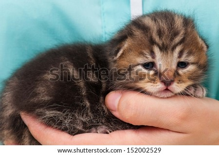 Cute kitten during survey on hands at the veterinarian close-up - stock photo