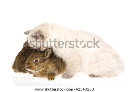 Cute kitten kissing two bunnies, on white background - stock photo