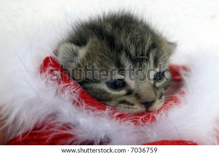 Cute kitten looking out of a santa hat