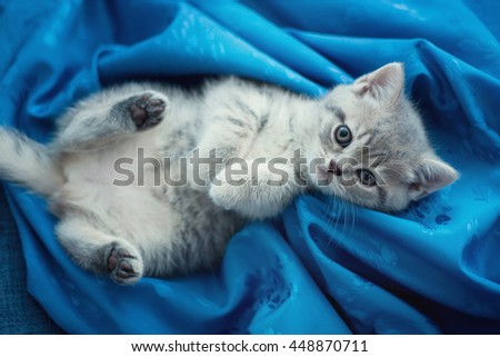 Cute kitten lying on his back. British kitten on a blue background - stock photo