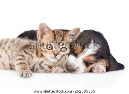Cute kitten lying with basset hound puppy. isolated on white background