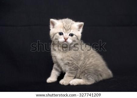 Cute kitten on a dark background, kitten British breed, a small kitten in drapery, pet, cute baby. - stock photo
