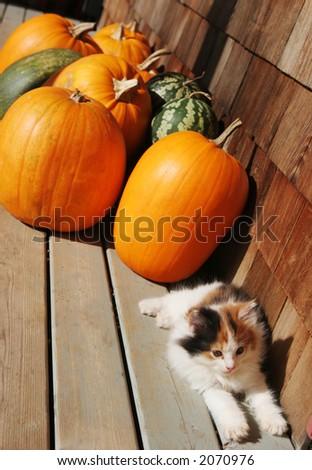 Cute kitten sitting next to bright orange pumpkins - stock photo