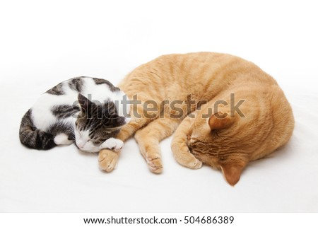 Cute kitten snuggle against big cat