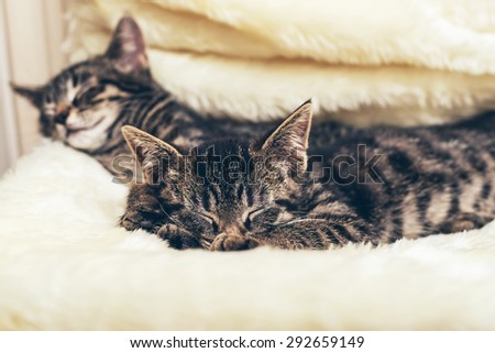 Cute kitten snuggling into a fluffy blanket on a chair as it lies sleeping with its sibling in the house - stock photo
