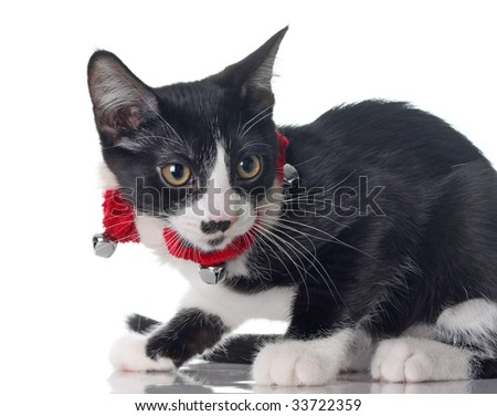 Cute kitten wearing her Christmas jingle bell collar.