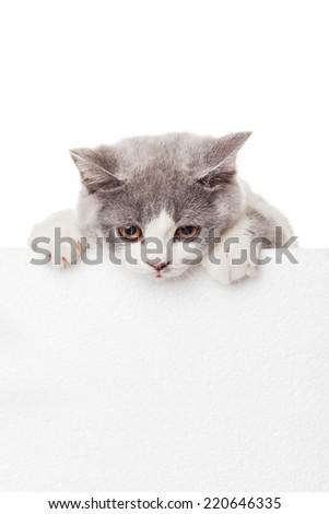 Cute kitten with blank billboard.  Lovely British Shorthair kitten - stock photo