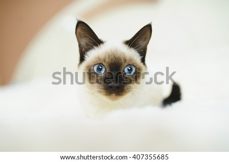cute kitten with blue eyes on bed