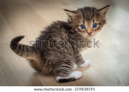 Cute kitten with blue eyes on wooden floor