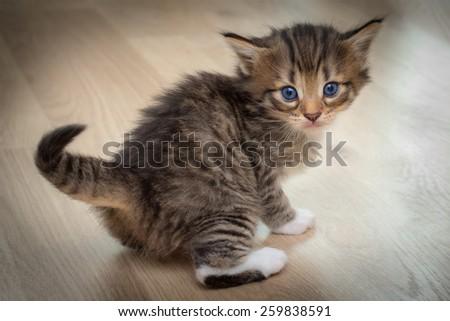 Cute kitten with blue eyes on wooden floor - stock photo