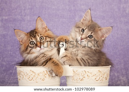 Cute kittens sitting inside cream pails buckets on lilac background - stock photo