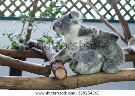 cute koala bear cute koala bear with young joey baby koala in featherdale wildlife park in new south wales close to sydney in australia - stock photo