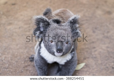cute koala bear  with young joey baby koala in featherdale wildlife park in new south wales close to sydney in australia