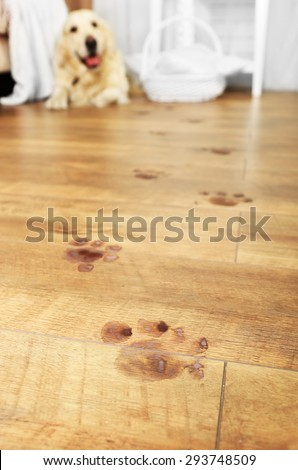 Cute Labrador and muddy paw prints on wooden floor in room - stock photo