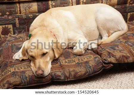 Cute Labrador asleep on pillows - stock photo
