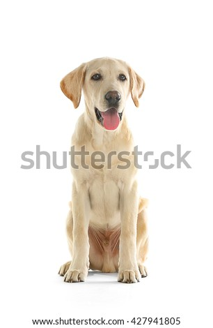 Cute Labrador dog sitting isolated on white - stock photo