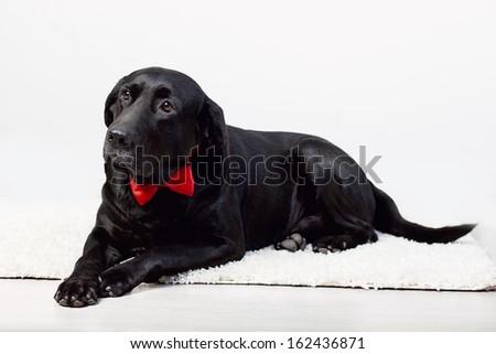 cute labrador in a bow tie - stock photo