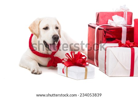 Cute labrador is sitting with presents, isolated on white. - stock photo