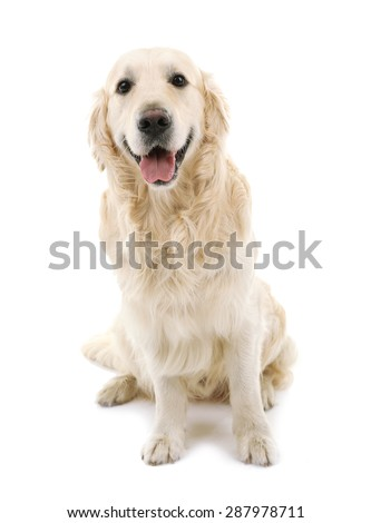 Cute Labrador isolated on white - stock photo
