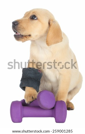 Cute Labrador puppy with weights and arm band isolated on white background. - stock photo
