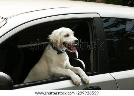 Cute Labrador retriever dog in car - stock photo
