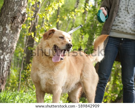 cute labrador retriever on a leash in the spring forest