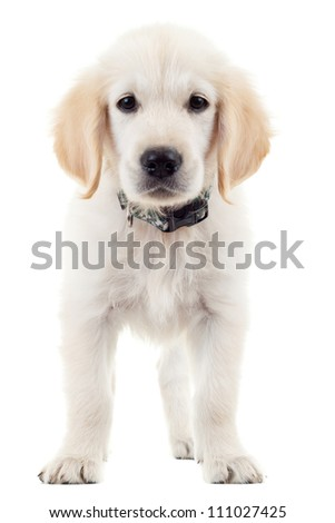 cute labrador retriever puppy dog standing and looking at the camera against white background - stock photo