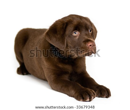 Cute Labrador Retriever puppy posing, isolated background