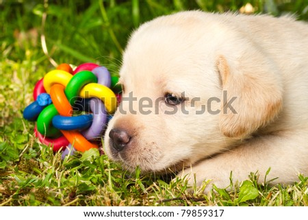 Cute labrador retriever puppy sitting on the grass - stock photo