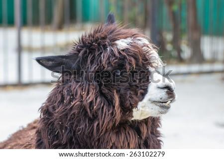 cute lama alpaca animal closeup snout portrait - stock photo