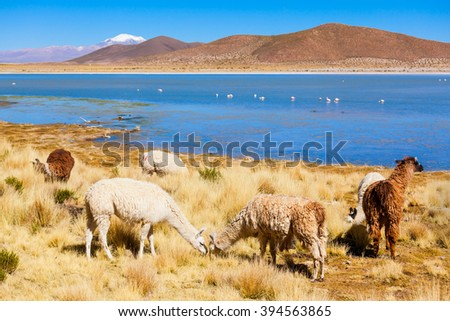 Cute lamas in the Altiplano of Bolivia