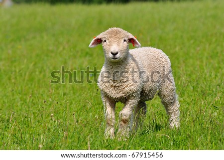 cute lamb - stock photo