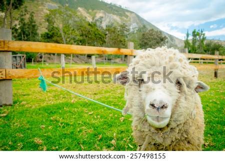 cute lamb in a farm looking at camera - stock photo