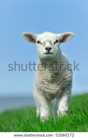 Cute lamb in spring, Friesland The Netherlands - stock photo