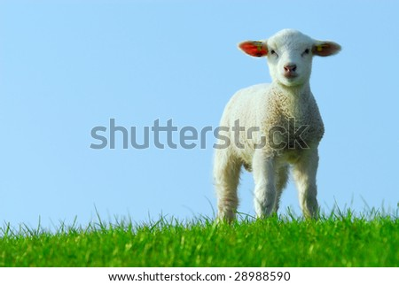 cute lamb in spring, The Netherlands - stock photo