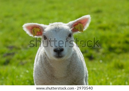 cute lamb on grass in spring