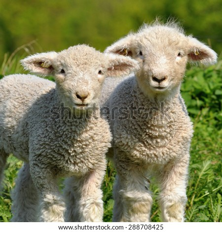 cute lambs - stock photo