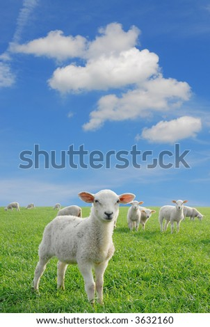 cute lambs in fresh green meadow on blue sky background with fleecy clouds to use as speech bubbles - stock photo