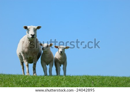 cute lambs in spring - stock photo