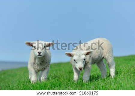 Cute lambs in spring, Friesland The Netherlands - stock photo