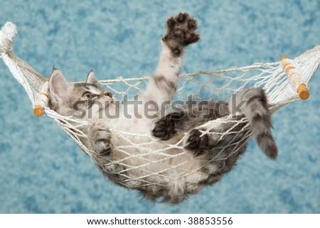 Cute LaPerm kitten lying inside miniature hammock waving paw - stock photo