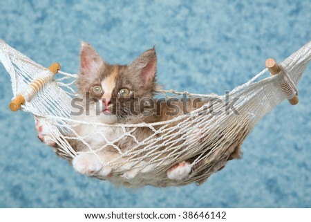 Cute LaPerm kitten sitting in miniature hammock - stock photo