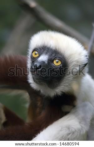 Cute Lemur (Verreaux's sifaka) - stock photo