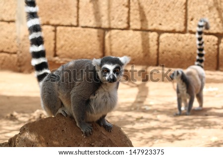 Cute lemurs - stock photo