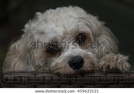 cute Lhasa apso dog - stock photo