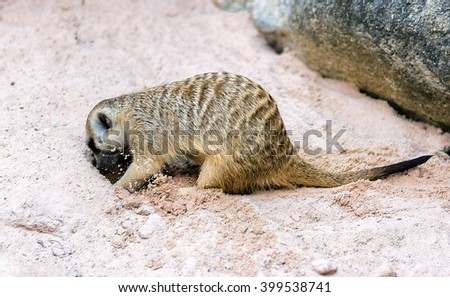 cute light brown Meercat were dig the soil - stock photo